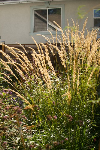 calamagrostis sunny  894