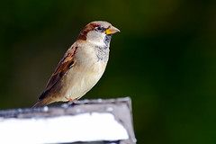 Male House Sparrow (Brian E Kushner) Tags: house male bird birds animals newjersey backyard nikon wildlife 300mm sparrow housesparrow passerdomesticus f4 audubon birdwatcher backyardbirds nikor malehousesparrow d7000 audubonnj bkushner brianekushner nikond7000 nikon300mmf40dedifafsnikkorlens