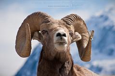 Bighorn in Banff (Chris Gardiner Photography) Tags: winter wild portrait canada nature animal canon rockies jasper wildlife banff bighornsheep