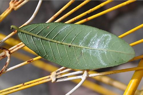 Guava_leaf1