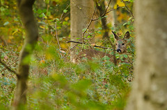 Roe deer (andrewinpompey) Tags: autumn tree nature animals sussex woods nikon wildlife doe deer roe roedeer beech beechtree d7000 sigma150500mm