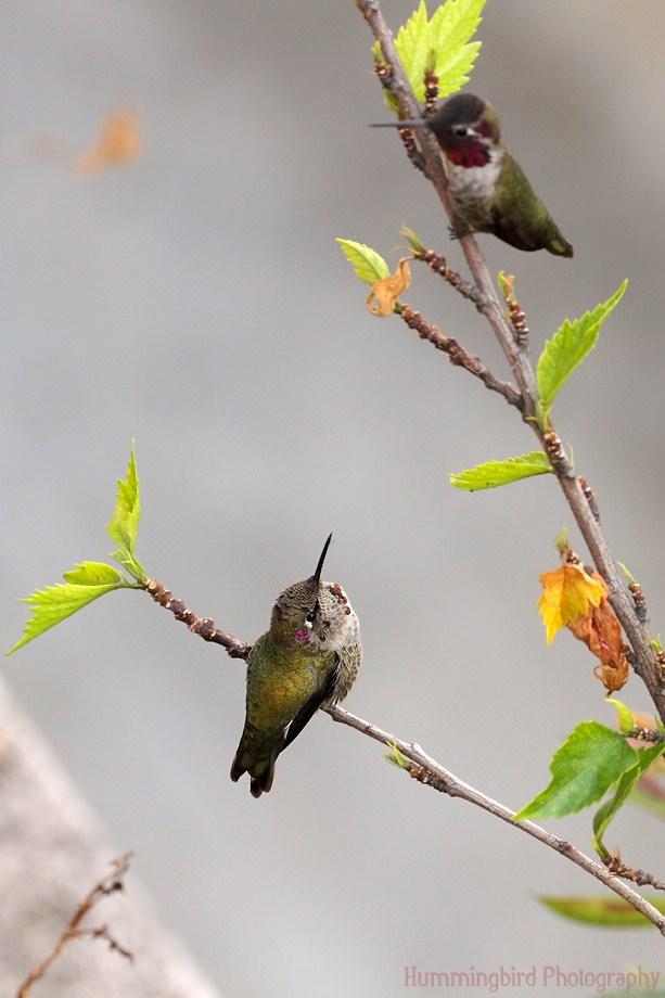 Anna's Hummingbird111311