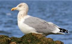 Herring Gull (sandy richard) Tags: longisland beaches wildwood wildwoodstatepark sandyrichard sandrarichard