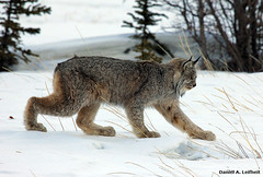 Canada Lynx (Critter Seeker) Tags: canada nature animal cat canon mammal outdoors rebel wildlife yukon canonrebel lynx specanimal t2i canadalynx destructionbay mygearandme mygearandmepremium canont2i