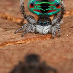 _MG_2954 peacock spider Maratus sp. thumbnail