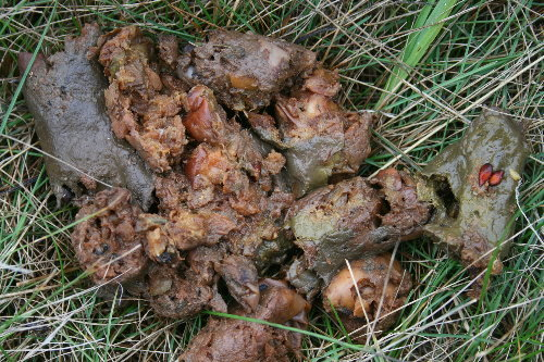 Bear scat - eating apples