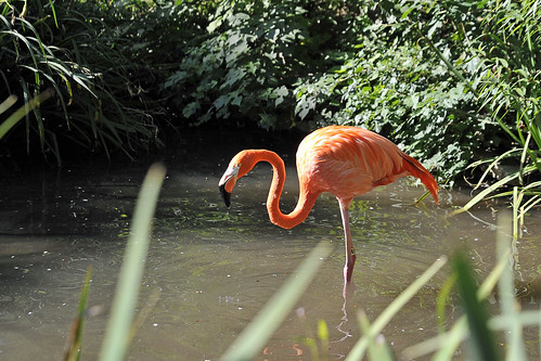 087 Flamingo zoo