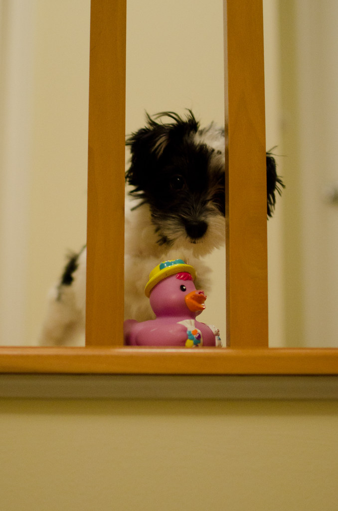 Patches contemplates the duck