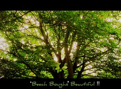 Beech Boughs Beautiful (Dazzygidds) Tags: leaves intense fantastic gorgeous branches brightlight boughs cinematic incredible atmospheric nottinghamshire hugetree ortonish tangledinbranches veteranbeechtree radcliffeupontrent beautifulbeechtree ancientbeechtree