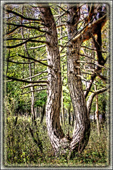 Nature's Fork in the Road ~ 10/10/2011 NPVNC (C. Vizzone) Tags: life old wild plant tree green art nature lines photoshop branch artistic framed character curves grain fork bark trunk legacy tone hdr dtem newacademy awardtree daarklands trolledproud newgoldenseal