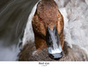Red eye (Ianmoran1970) Tags: red bird eye water bill duck martinmere ianmoran ianmoran1970