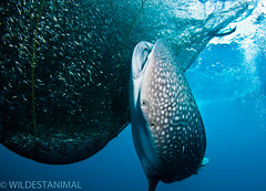 EXPRESSIVE FACE (wildestanimal) Tags: travel fish nature indonesia shark flickr underwater diving whale whaleshark papua cenderawasih wildestanimal