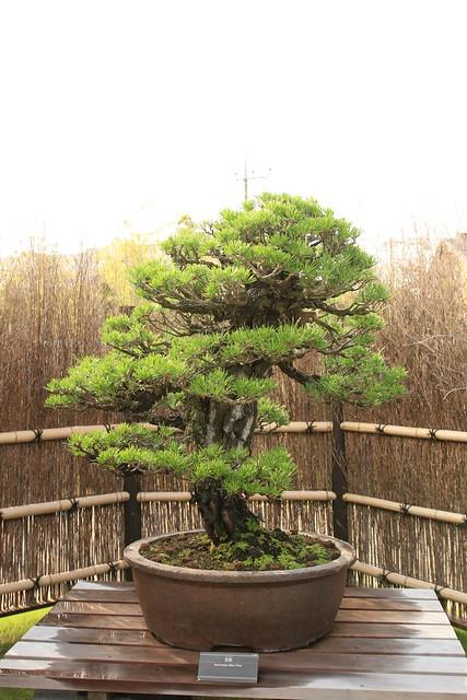 黒松 Kuro-matsu (Black Pine) - 盆栽美術館 - bonsai museum