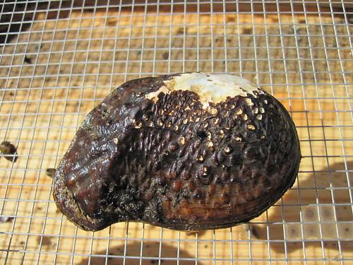 Pistolgrip (Trittigonia verrucosa)