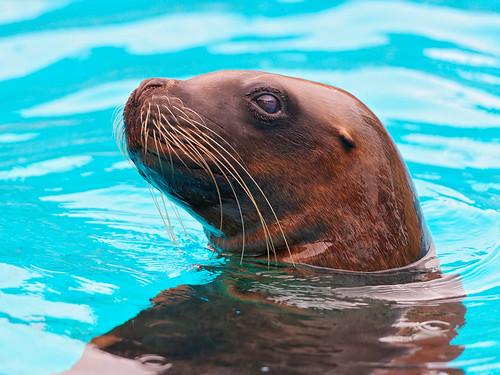 無料写真素材, 動物 , 哺乳類, アシカ