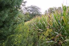 (Phillip Kalantzis Cope) Tags: illinois corn urbana phillipkalantziscope
