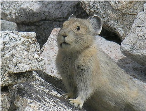 According to the World Wildlife Fund, the American Pika (Ochotona princeps) could be the first mammal victim of climate change (US Forest Service Photo).