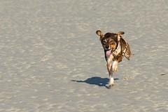 Flap flap !! (Azraelle29) Tags: chien jo course plage azraelle courir joséphine azraelle29