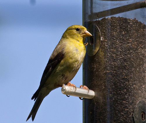 American Goldfinch at nyjer seed feeder