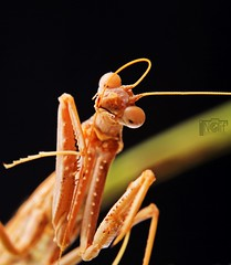 - Mantis ( Explore ) (Naif AL-Essa) Tags: macro canon mantis insect photography eos is photographer tripod tube battery x ii fox 7d extension essa grip 70200 f28 580ex manfrotto lense lenses oto 21mm naif speedlite  alessa  31mm 430ex 13mm         190xprob    alharbi 055xprob albishri   bge7