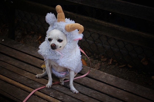 Sheep, Halloween Dog Parade 2011, Tompkins Square Park, East Village, New York City