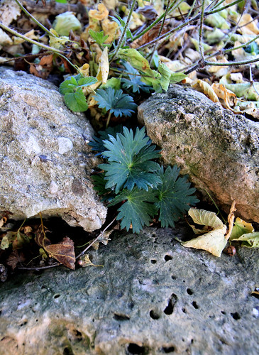 geraniumrock