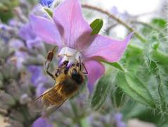 bee collecting (mazza42) Tags: bee honeybee boragoofficinalis beecollectingnectar