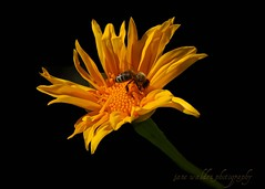 10-22-11 Flower-Bee (janeswalden) Tags: flower nature yellow gardens bug insect flora blossom wildlife bee mead pse