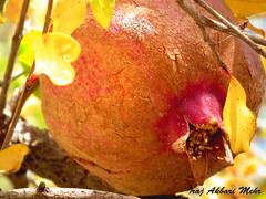 Anar 2 (Iraj Akbari Mehr) Tags: pomegranate