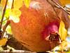 Anar 2 (Iraj Akbari Mehr) Tags: pomegranate انار