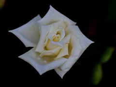 "Rose "" Soodorihime "" (Polotaro) Tags: flower macro nature rose pen olympus   zuiko  ep1     fantasticflower  tamronsp90mmf28macro1172b"