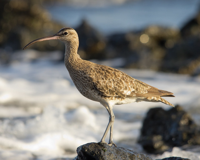 whimbrel on rocks with waves 2