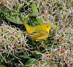 Yellow Warbler (Billtacular) Tags: autumn bird fall nature outdoors newjersey wildlife birding nj migration birdwatching thewonderfulworldofbirds