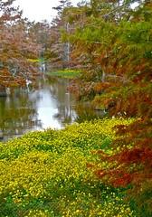 11.10.27-09 (cdevon1028) Tags: fall louisiana bayou cypresstrees