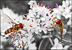Two of a Kind (Dave_O1 (so slowwww)) Tags: flower color beautiful canon garden insect fly wings twins colours grand special 7d hoverfly hover selective exceptional flowerfly efs60mmf28macrousm vigilantphotographersunite