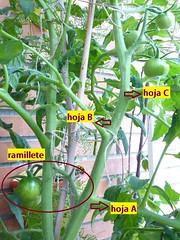hojas necesarias para el fruto del tomate