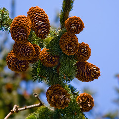 CB472 Pine Cones (listentoreason) Tags: usa plant nature closeup america canon newjersey unitedstates favorites places pinecone conifer groundsforsculpture pinophyta strobilus coniferae score35 ef28135mmf3556isusm pinopsida pinales