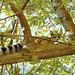 Ringtail  (Bassariscus astutus) in Northern CA (1)