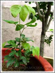 Calliandra emarginata (Dwarf Powder Puff, Powderpuff Plant): a self-sown seedling