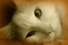 I Wonder... (KrazyBoutCats) Tags: cats pets animals closeup sepia wonder chats chat sweet kittens felines beautifuleyes copernicus iwonder bestofcats