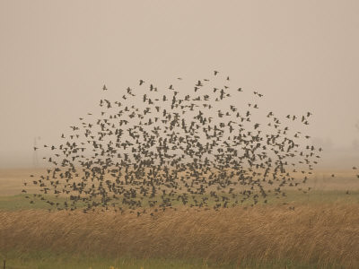 phil-schermeister-flock-of-birds-swarming-a-field-in-north-dakota