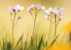 Cuckooflowers (Horst Beutler) Tags: pentax wildlife meadow wiese spree cardaminepratensis wiesenschaumkraut cuckooflowers schaumkraut k20d pentaxart copyrighthorstbeutlerphotography