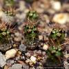 Frailea angelesii (binaryriot) Tags: cactus seedling frailea angelesii