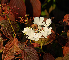 Autumn Feelings (*Gitpix*) Tags: flowers autumn light red brown sunlight white flower color macro rot nature leaves licht leaf nikon blossom herbst natur blum