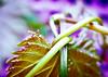 Tangled (Kalyna Harasymiv) Tags: flowers blackandwhite bw macro nature spring twilight natural australia bugs canberra greyscale kalyna