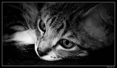 ...Gaa... (fredf34) Tags: portrait bw cat blackwhite chat noiretblanc nb moustache gato regard flin