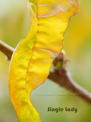 Leaf Abstract: Single Lady (NaturalPhotographySpa) Tags: autumnfoliage art smile silk peachtree treebranch greenish stunningcolor smoothbokeh straplessdress yellowishcolor leafabstract abstractimagery singlelady blinkagain stunningonblack