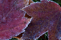 Yin Yang frost (violetflm) Tags: november fall leaves yard leaf frost il glenview d300s 45orless d3t1653