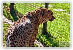 Guepardo (Juan Ramón Jiménez) Tags: africa capetown cheetah chita ciudaddelcabo guepardo