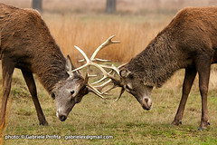 "Fighting Deers <a style=""margin-left:10px; font-size:0.8em;"" href=""http://www.flickr.com/photos/24828582@N00/6384688417/"" target=""_blank"">@flickr</a>"
